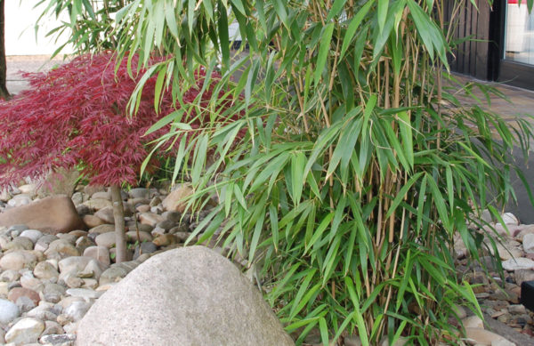 Phyllostachys (Bambus)