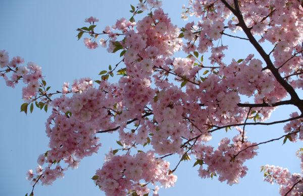 Prunus serrulata (Zierkirsche)