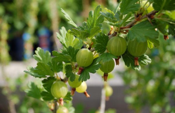Ribes uva-crispa (Stachelbeere)