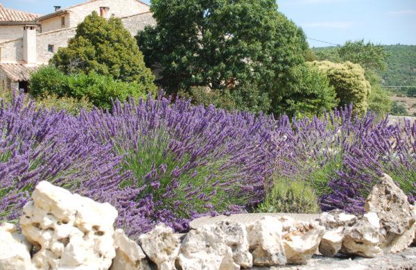 Dekorative Terassenpflanze - Lavendel