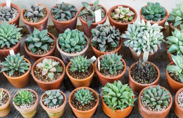 Trendpflanze Sukkulenten