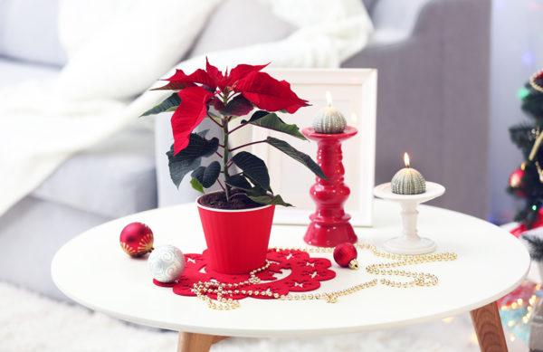 Weihnachtsstern - Der Klassiker