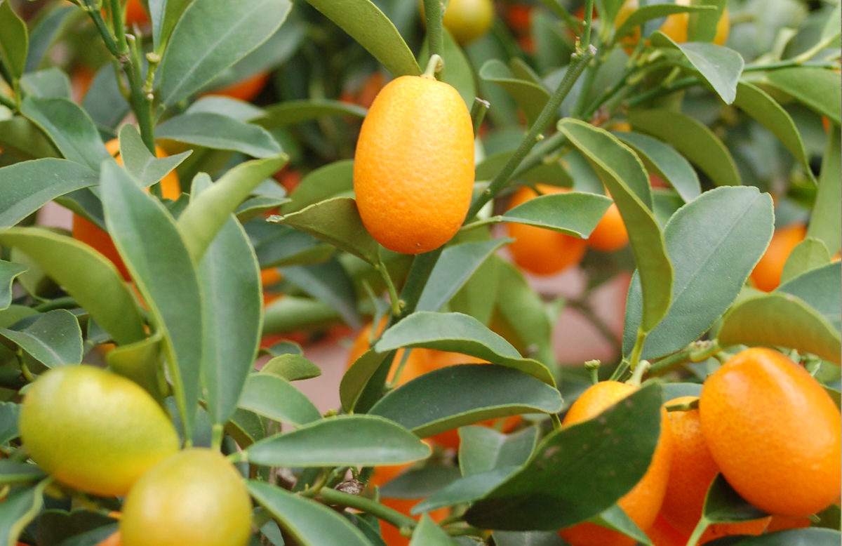 Citrus Kumkuat (Kumquat)