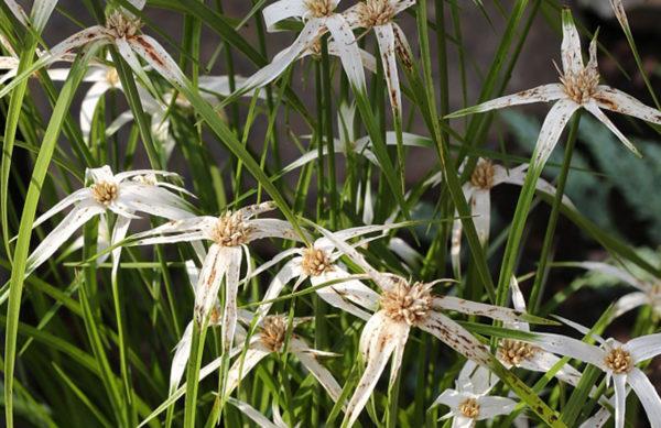 Sternentänzer Gras